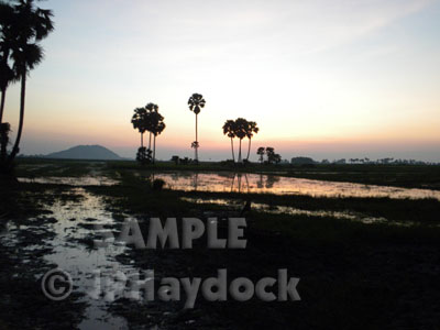 Rice Fields @ Sunset Cambodia - Click to Enlarge